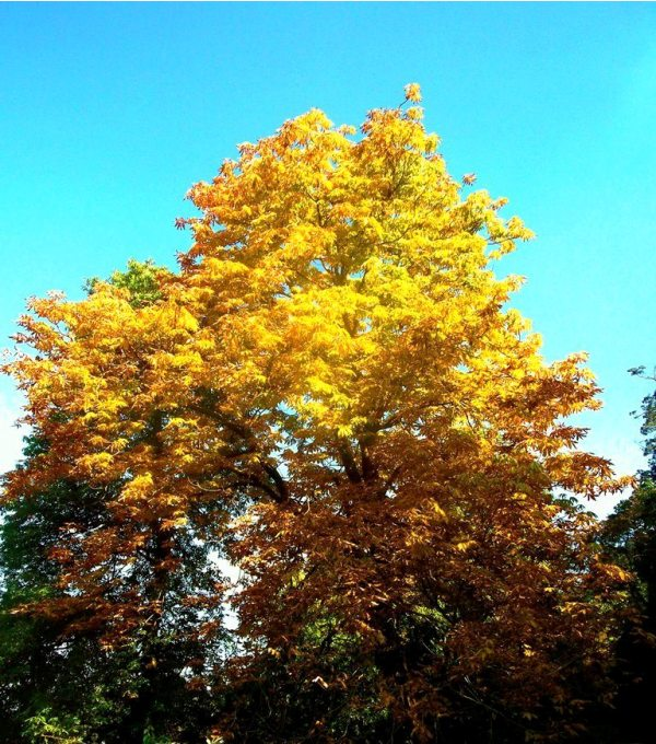 Yellow Oak's leaves under azure sky