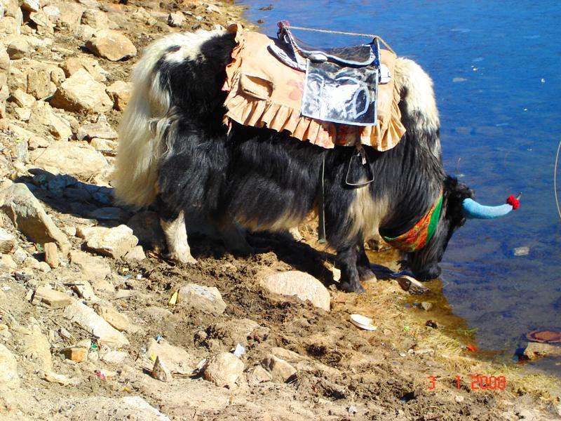 Yak at Changu (Tsomgo) Lake