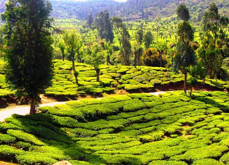 Tea gardens, Ooty