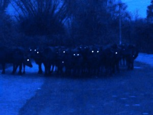 Bandipur night safari, a herd of bisons