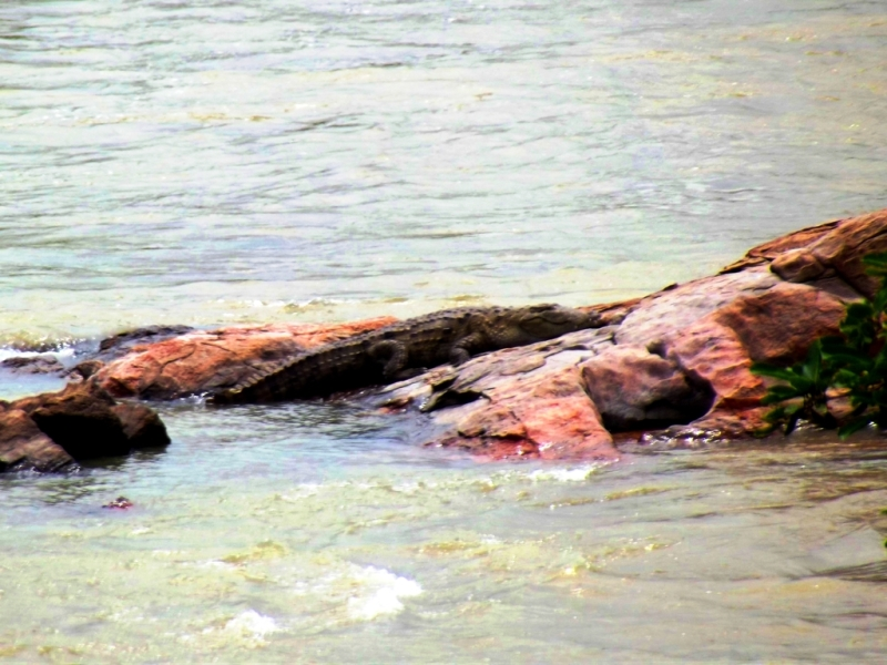Alligator in river cauvery, Bheemeshwari