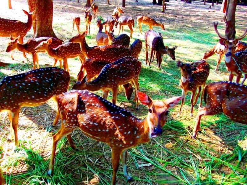 Deer park, Namada chillume