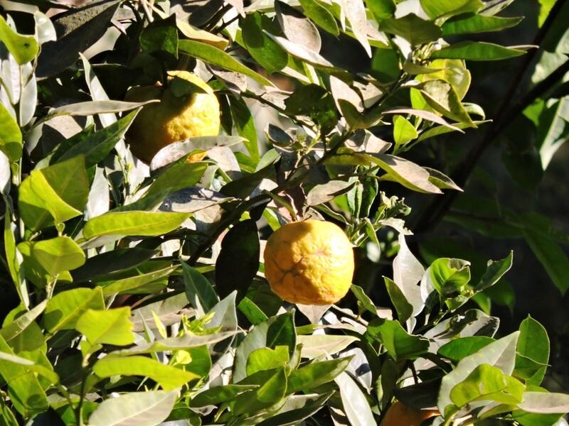 Oranges on Tadiandamol trek