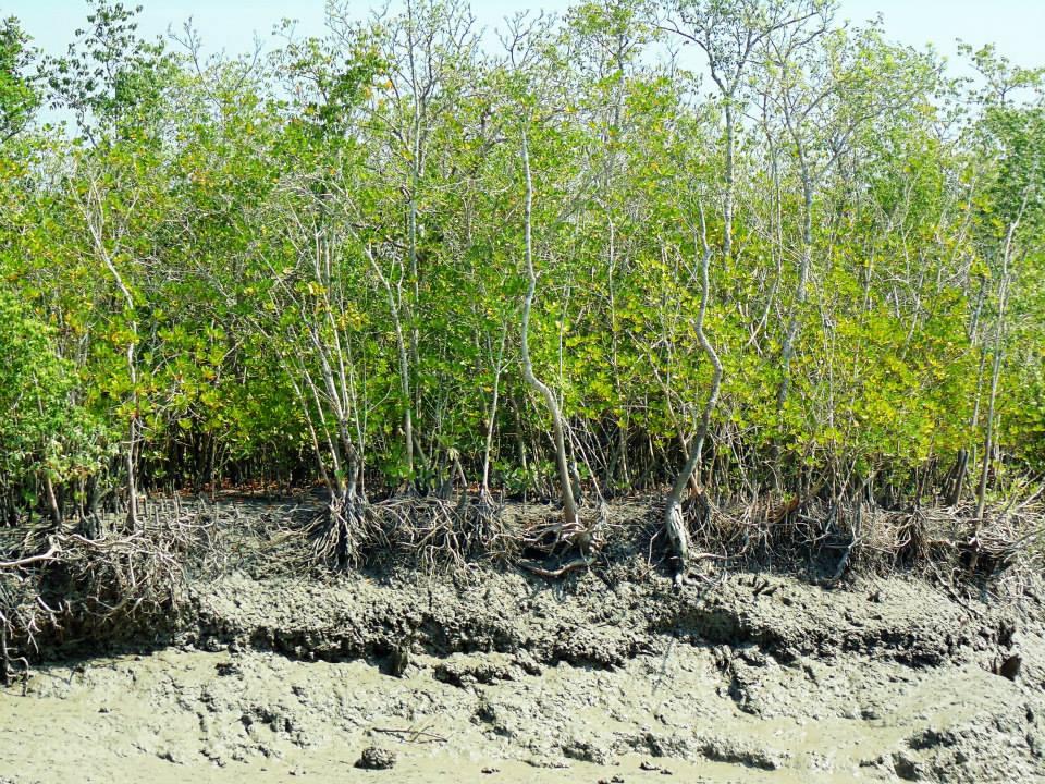 Sundarbans (16)