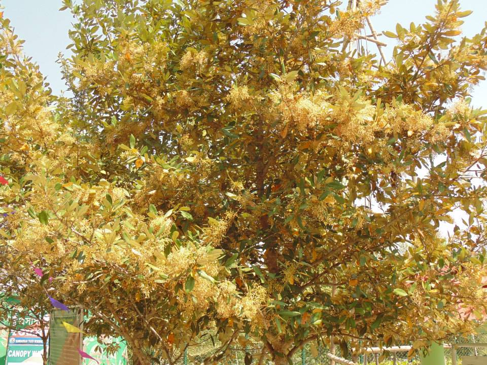 Sundarbans, The sundari tree, the whole forest named after this tree