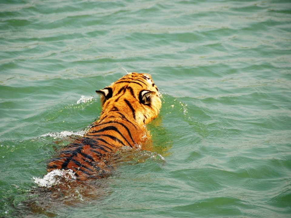 sundarbans tiger swimming