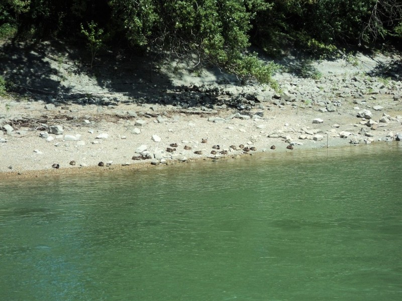 Koot birds sunbathing beside river Danunbe
