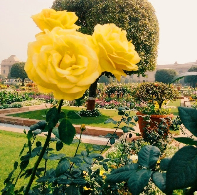 A yellow rose in Mughal garden delhi