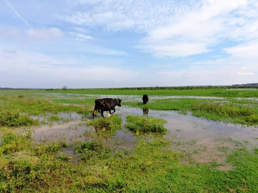 Cows in hoskote lake