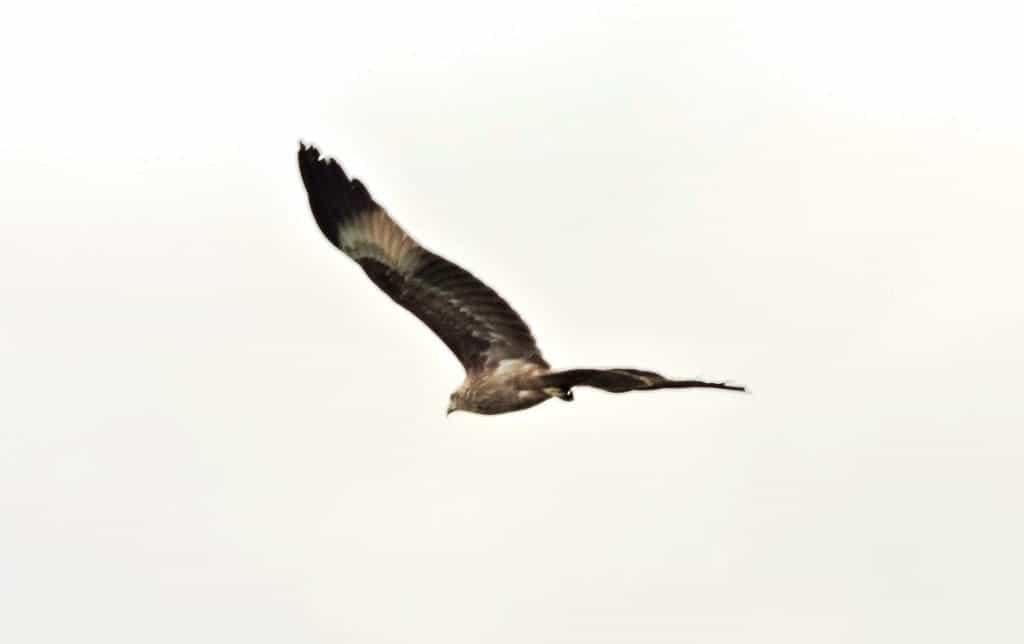 Eagle at Muthanallur lake