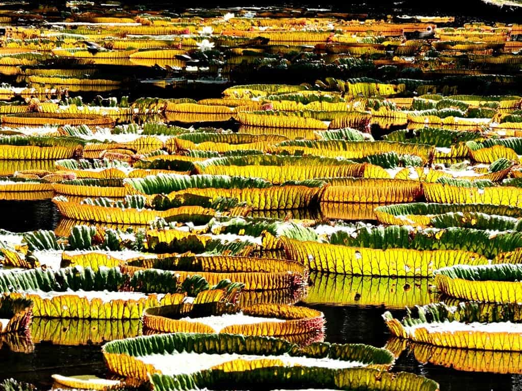Giant Lily Pond Mauritius