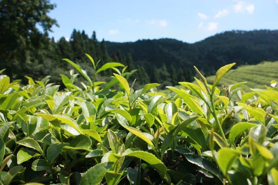 Green Tea Estate