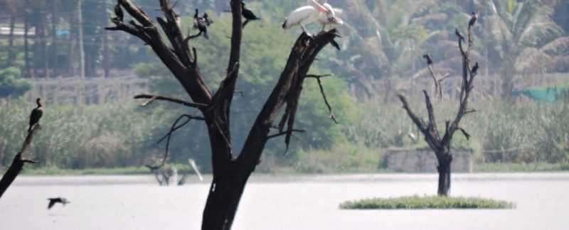 Hoskote lake birds