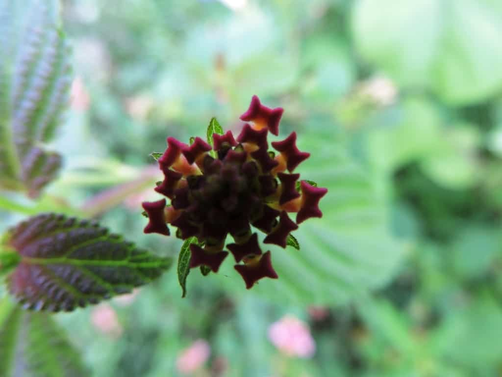 Wild flowers near Muthanallur lake, Bangalore (2)