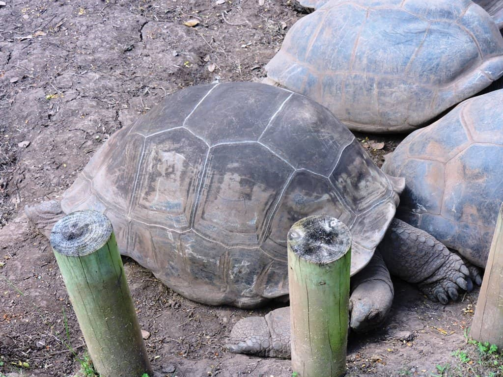 tortoise at chamarel