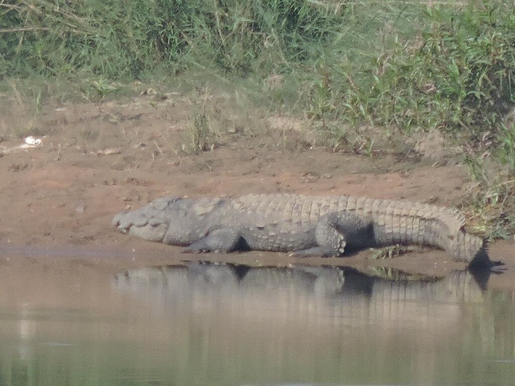 A crocodile at Panna national park