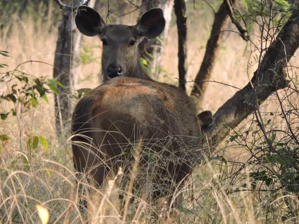 Sambhar at Panna national park