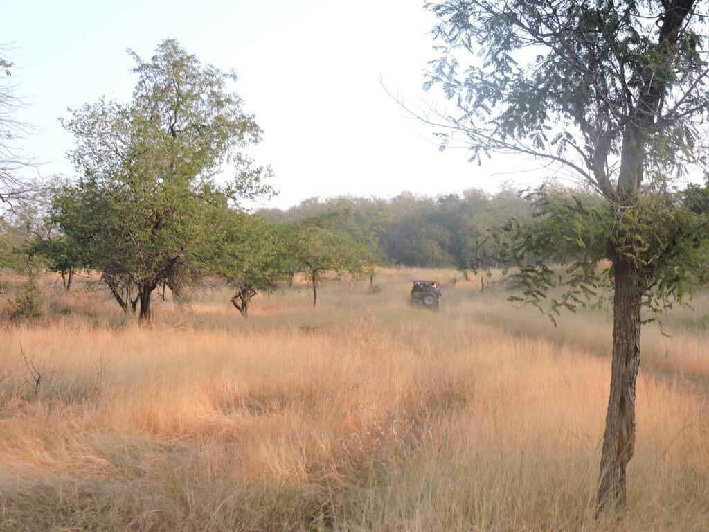 Savanna Grass, Panna National Park