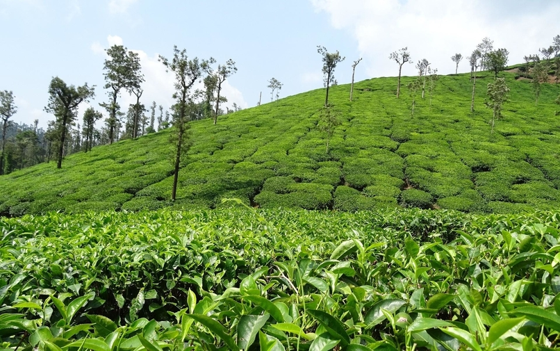 Top 5 Tea Estates (Gardens) in India to Visit