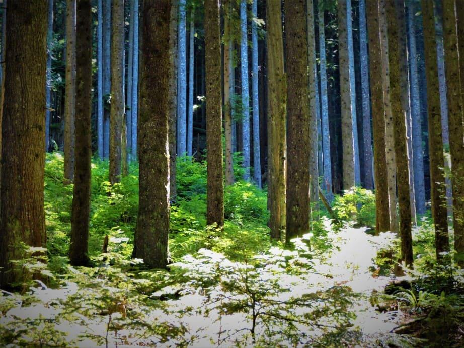 Forest near Norvan Falls
