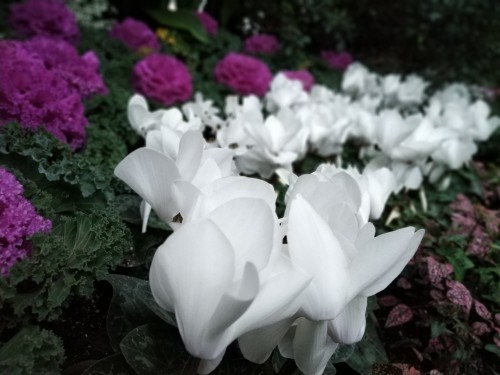 Allan Gardens Toronto Winter Flower Show (12)