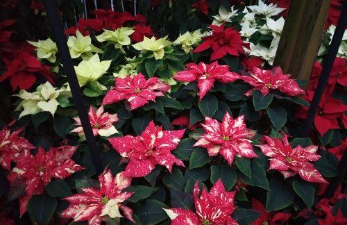 Allan Gardens Toronto Winter Flower Show (7)