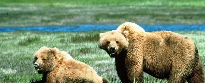 grizzly bears viewing