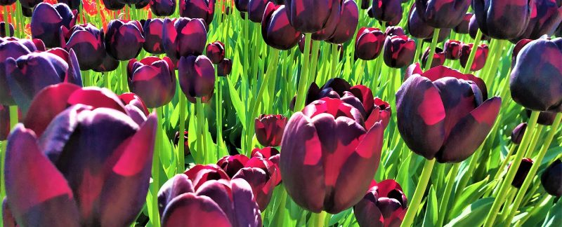 Dark Maroon Tulips