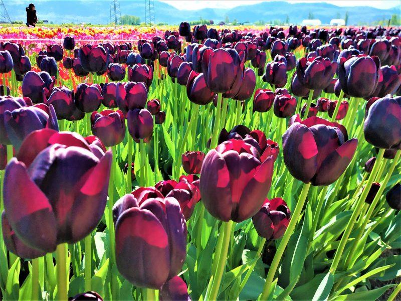 Dark Maroon Tulips