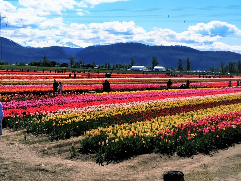 Tulips farms