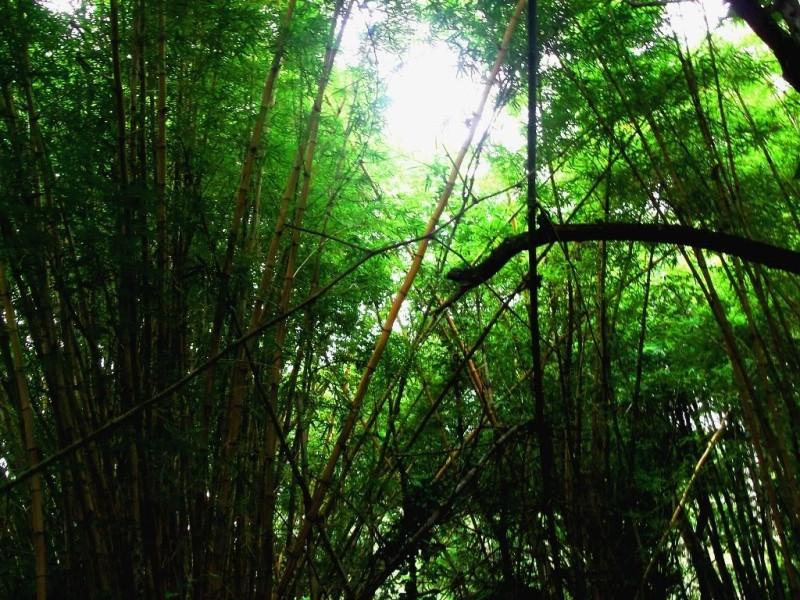 Yellow Bamboos at Nisargadhama